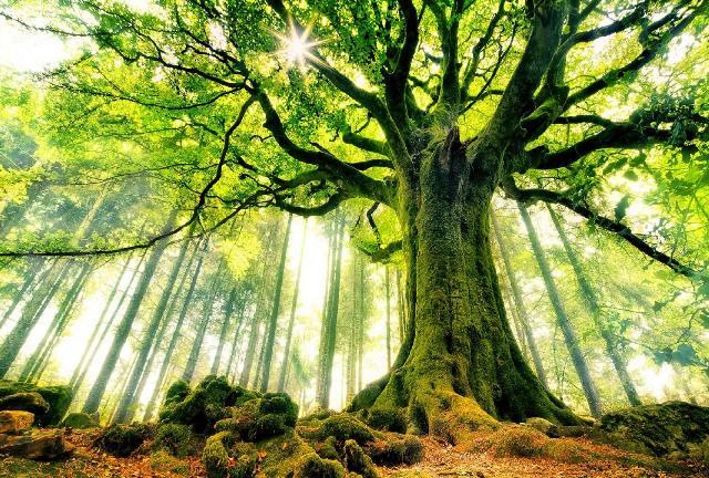 yosun ağaç